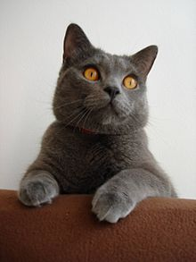 Chartreux - Wikipedia, the free encyclopedia