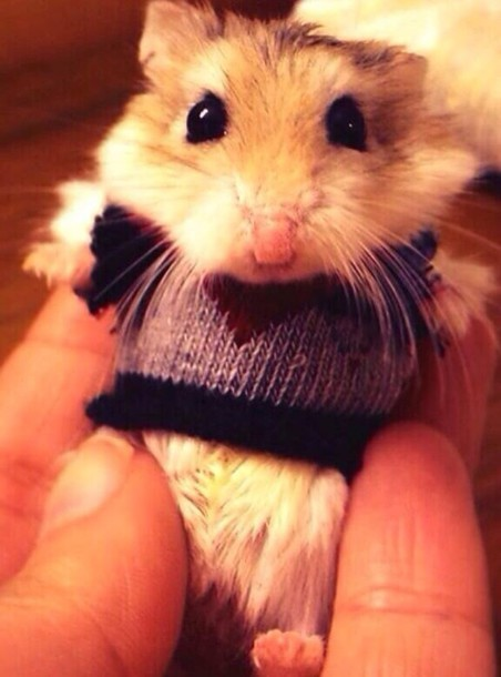 pics photos   cute hamster sweater small clothes