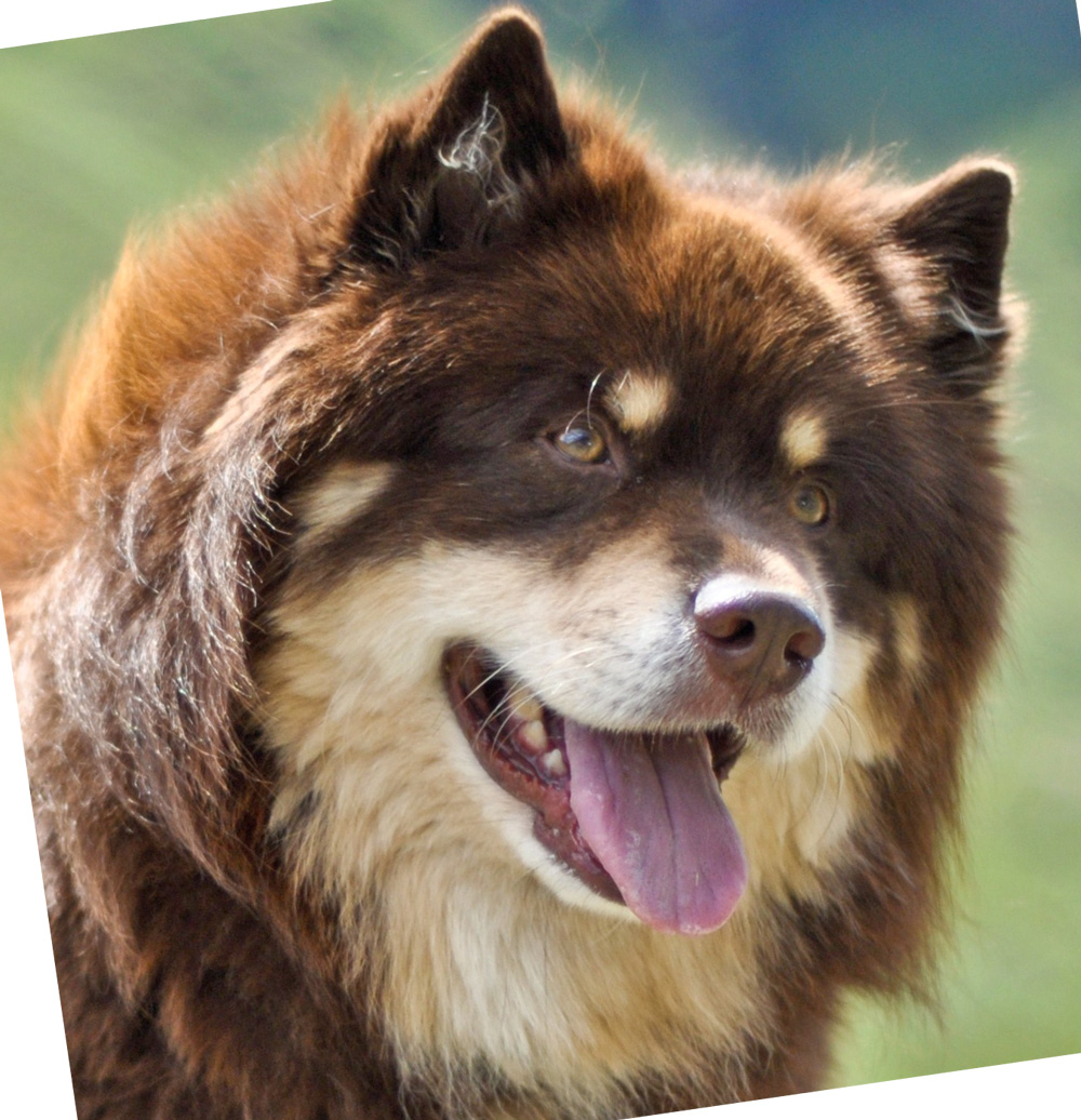 Infindigo Finnish Lapphunds