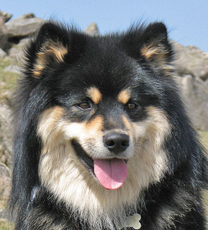 Home - Infindigo Finnish Lapphunds