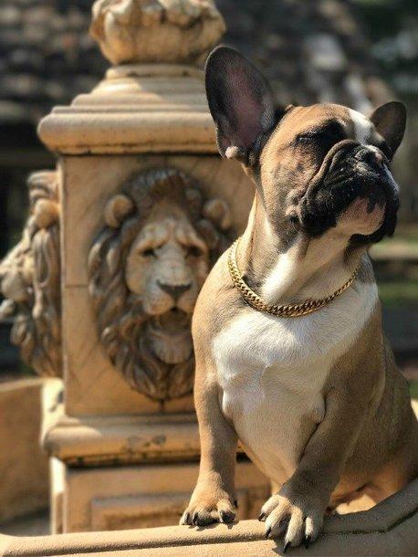 jewels french bulldog frenchie dog clothes dog gold chain necklace gold necklace gold chain necklace