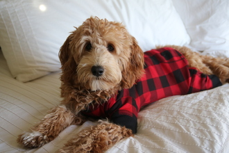 pajamas dog cute funny flapjack onesie matching set matching dog puppy goldendoodle cute pajamas plaid red and black plaid black hilarious lovely