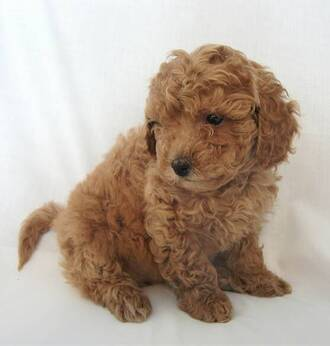 jewels puppy love dress animal dog