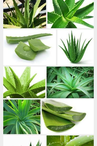 home accessory aloe vera plants health food ireland