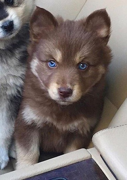 Top Fluffy Brown Adorable Dog - l7d25y-l-610x610-home+accessory-dog-puppy-cute-adorable+af-amazing-want+need-doggy-beautiful-fabulousl-fluffy-puppies-brown-blue-eyes-help-  Graphic_795100  .jpg