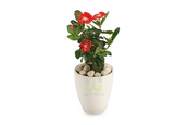 home accessory,green decor,periwinkle - red plants,buy periwinkle - red plant online