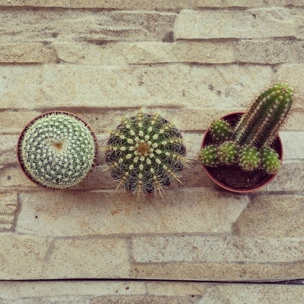 home accessory cactus plants