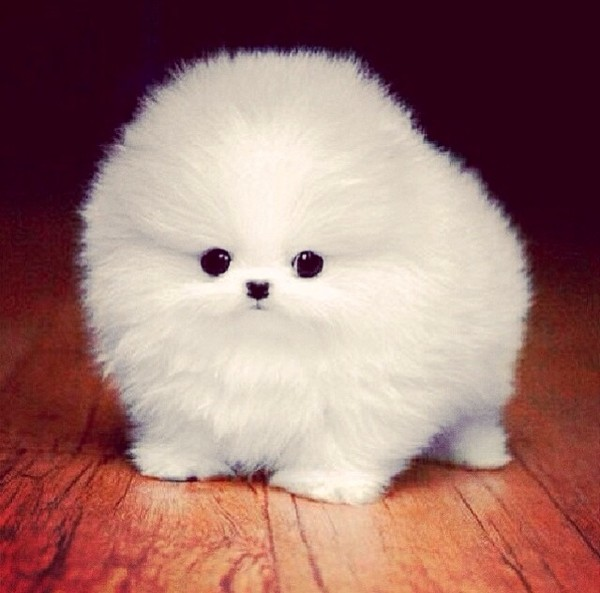 Baby Teacup Pomeranians Google Search