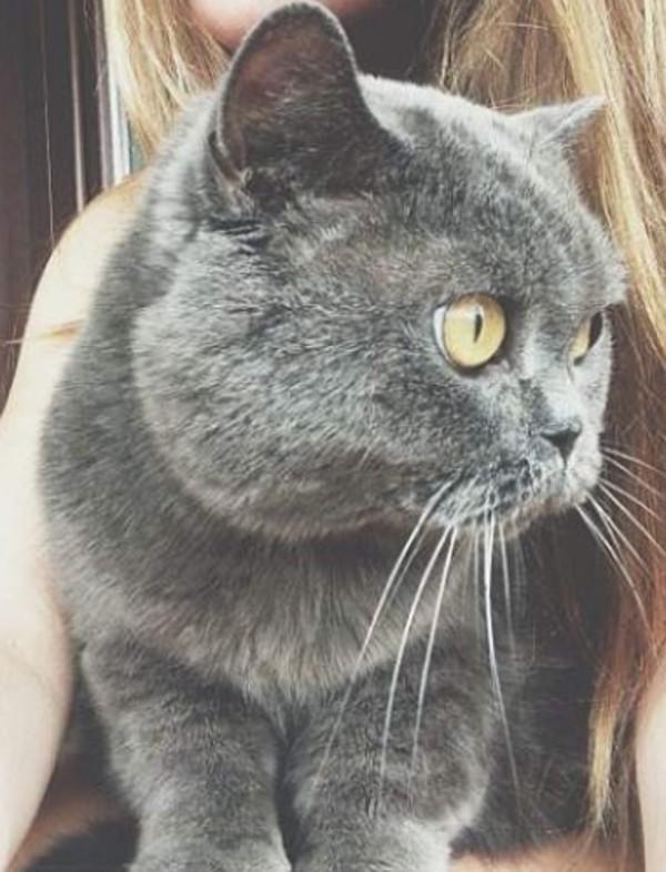 t-shirt cats gret grey beautiful animal