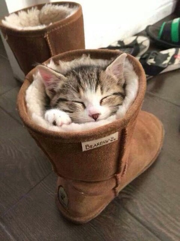 shoes cat in the shoe cats cats
