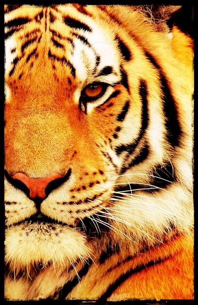 Eye of Tiger - for iphone Art Print by Simone Morana Cyla | Society6