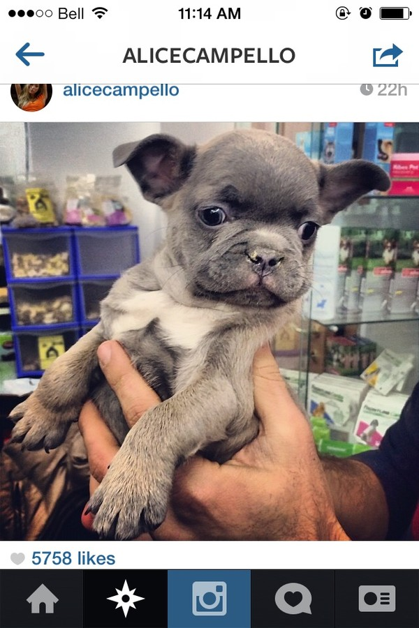 bag dog dog nike fitspo cute french bulldog